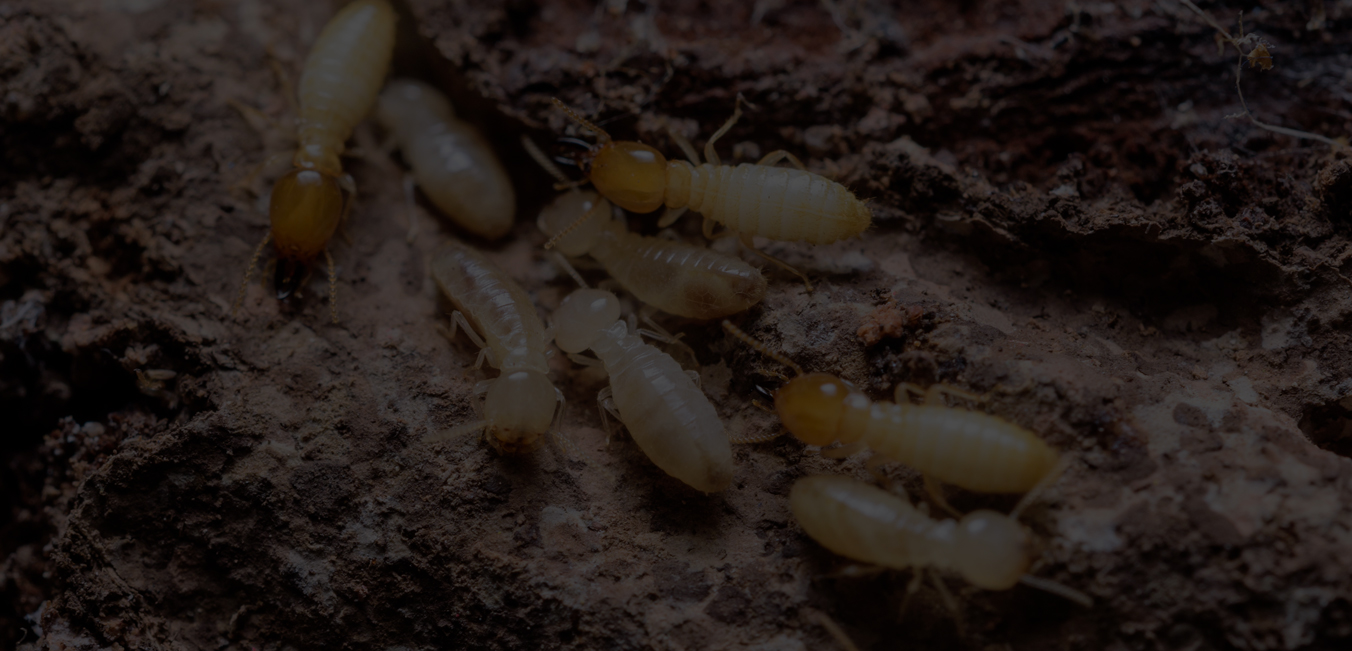 Termite Control Houston and Termite Control Dallas
