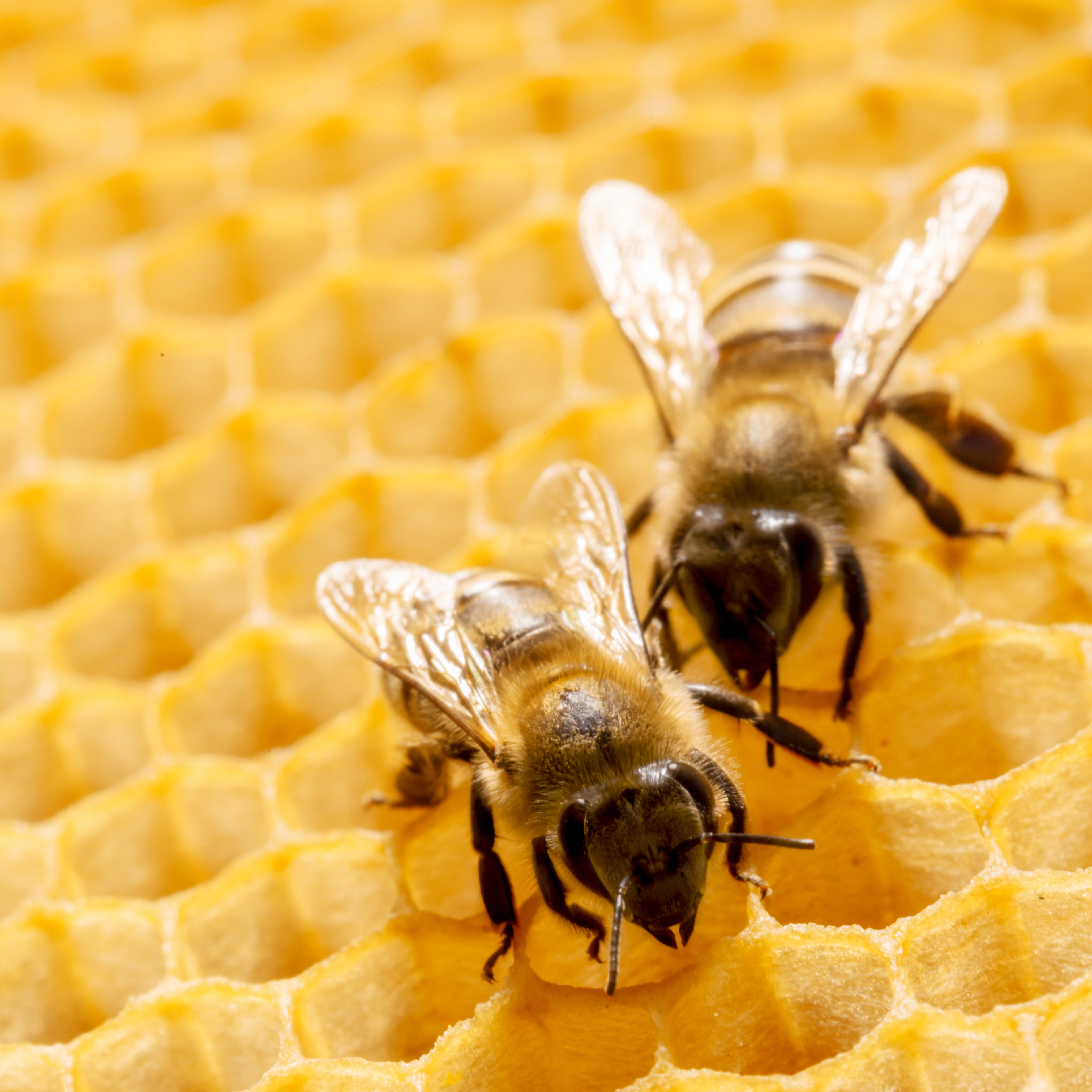 Bee Removal In Prosper Tx Why You Need Professional Help