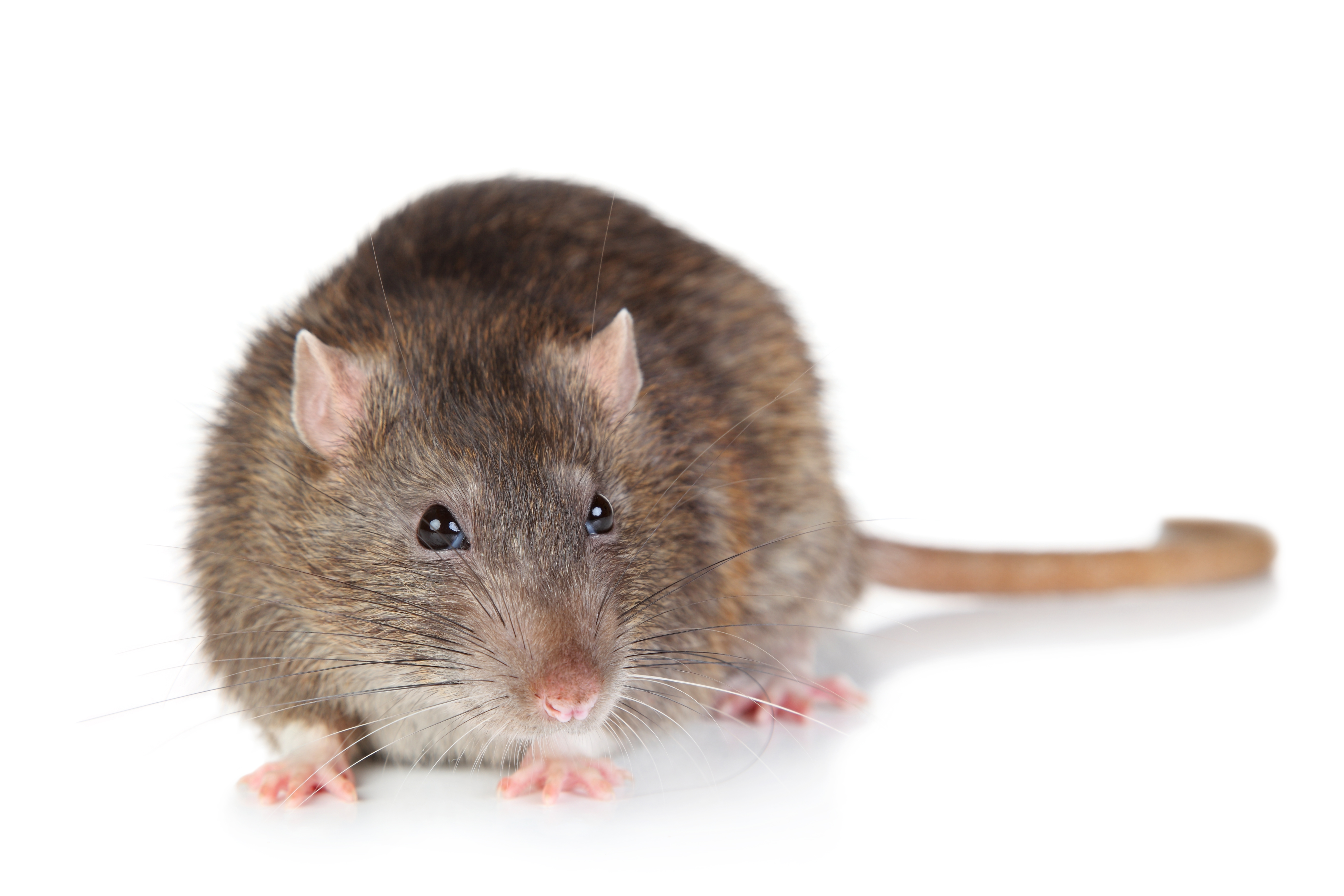 Rodent and Mouse Control in Houston and Dallas | Stampede