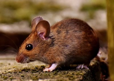 wood-mouse-3082922_1280